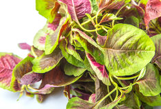 Chinese Red Spinach Close Up View II Stock Image