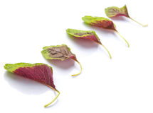 Chinese Red Spinach Leaves I Royalty Free Stock Photos