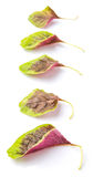 Chinese Red Spinach Leaves II Royalty Free Stock Images