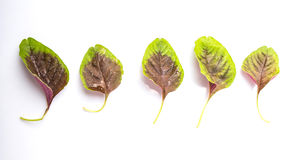 Chinese Red Spinach Leaves III Stock Photo