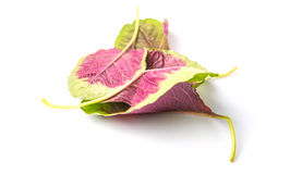 Chinese Red Spinach Leaves IV Royalty Free Stock Photography