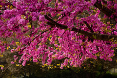 Chinese Redbud Royalty Free Stock Photography