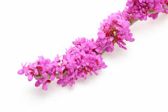 Chinese Redbud Royalty Free Stock Images