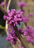 Chinese redbud Royalty Free Stock Image