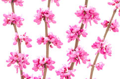 Chinese redbud flower Stock Photo
