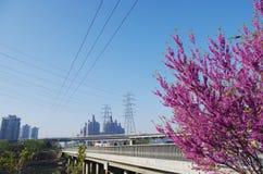 Chinese redbud flower in full  bloom Stock Photo