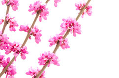 Chinese redbud in left side Royalty Free Stock Photography