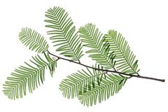 Chinese redwood Stock Image
