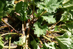 Chinese rhubarb, Tibetan rhubarb, Rheum officinate Stock Image