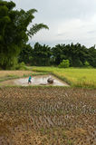 Chinese rice farming Royalty Free Stock Photo