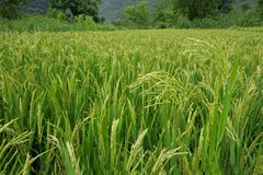 Chinese rice field Stock Photography
