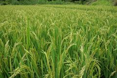 Chinese rice field Royalty Free Stock Photography