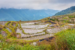 Chinese rice fields close-up Royalty Free Stock Image