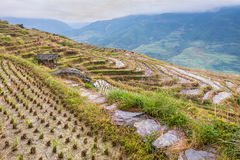 Chinese rice fields Royalty Free Stock Photo