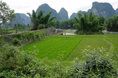 Chinese rice fields, Yangshuo, China Royalty Free Stock Photo