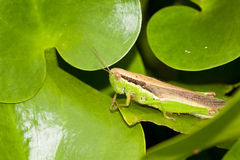 Chinese rice grasshopper Royalty Free Stock Photography