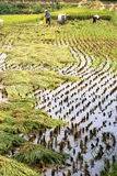 Chinese Rice Harvesting Royalty Free Stock Images