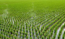 Chinese Rice Paddies Stock Photography