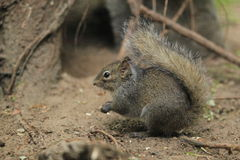 Chinese rock squirrel Stock Photo