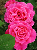 Chinese rose Stock Images
