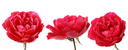 Chinese rose. Close up chinese rose with white background stock photography