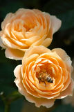 Chinese rose. A bee is busy in a orange Chinese rose royalty free stock images