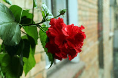 Chinese rose on the balcony. Chinese rose at the time of flowering, houseplant on the balcony Stock Photo