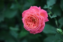 Chinese rose. This is a beautiful red Chinese rose stock photos