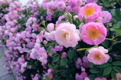 Chinese rose. The Chinese rose are blooming in garden royalty free stock photo
