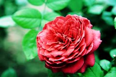 The Beauty of Chinese rose Royalty Free Stock Image