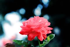 The Beauty of Chinese rose Stock Photo