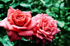 The Beauty of Chinese rose Royalty Free Stock Photography