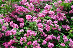 Chinese rose. Flowers in clusters stock image