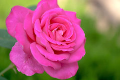 Chinese rose Royalty Free Stock Photos