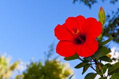 Chinese rose flower. Against blue sky stock photo