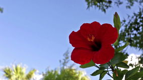 Chinese rose flower stock video footage