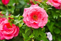 Chinese rose. Flowers in clusters royalty free stock image
