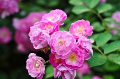 Chinese rose. Flowers in clusters royalty free stock photo