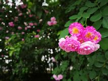 Chinese rose. With green leaf royalty free stock photography
