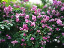 Chinese rose. With green leaf royalty free stock photo