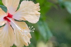 Chinese Rose(Hibiscus rosa-sinensis. Chinese rose in the garden from Thailand Stock Photo