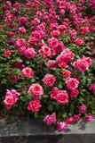 Chinese rose Royalty Free Stock Image