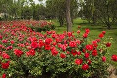 Chinese rose Royalty Free Stock Photo