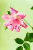 Chinese rose Royalty Free Stock Image