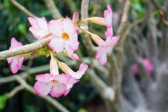 Chinese Rose, rosa Hibiscus, rosa Blume, Champaca Lizenzfreie Stockfotos
