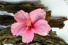 Chinese Rose or Rosa mallow  with bark Royalty Free Stock Photos