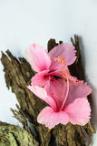 Chinese Rose or Rosa mallow  with bark Royalty Free Stock Image