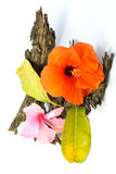 Chinese Rose or Rosa mallow  with bark Stock Image