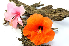 Chinese Rose or Rosa mallow isolated with bark Royalty Free Stock Image