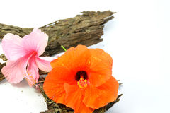 Chinese Rose or Rosa mallow isolated with bark Stock Photos